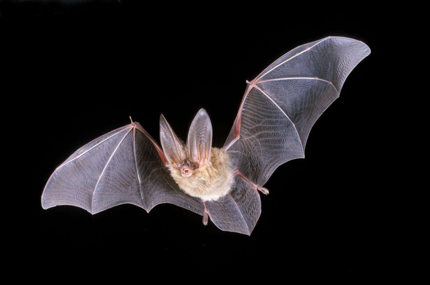 Źródło: http://www.emnrd.state.nm.us/mmd/AML/Bat-TownsendBig-eared.html