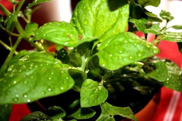 Szpinak po deszczu