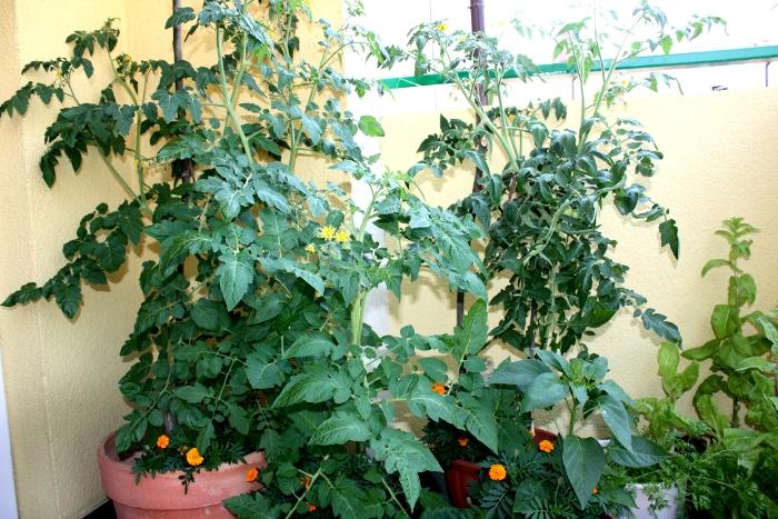 Archiwa Uprawa Pomidorów Na Balkonie Prowadzę Dom