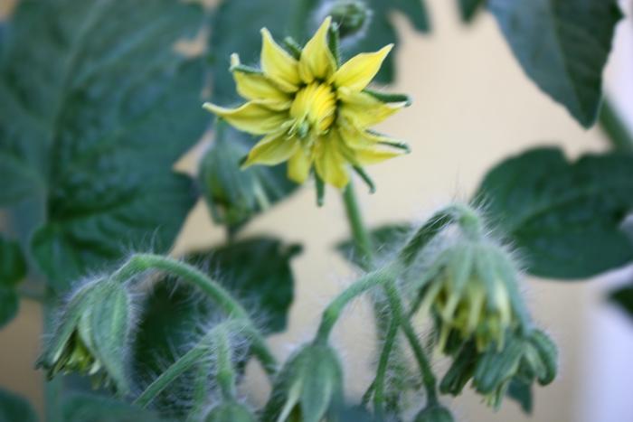 Zapylanie kwiatów pomidora