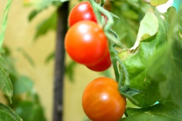 Dojrzewające pomidorki koktajlowe