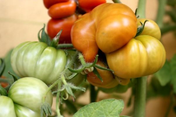 Pomidory Costoluto Fiorentino
