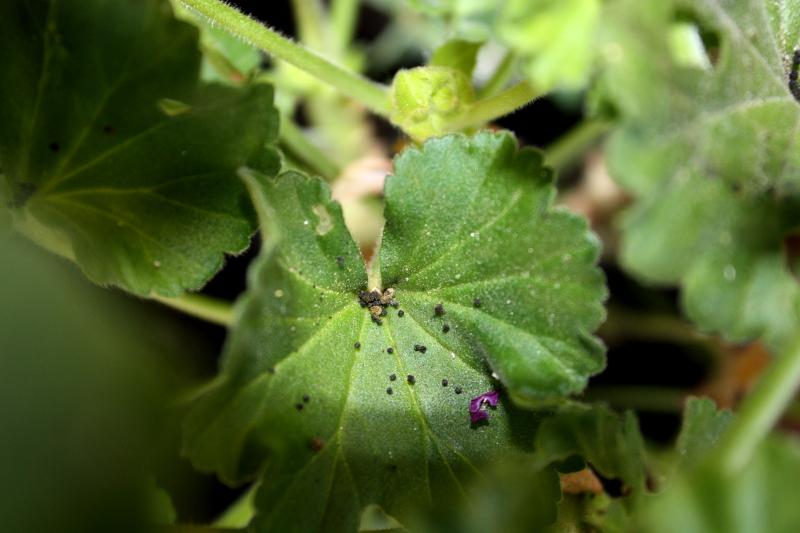Czarne kropki - odchody gąsienic