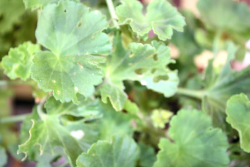 Zjedzone liście pelargonii