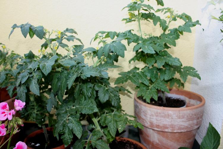 Pomidorki koktajlowe na balkonie
