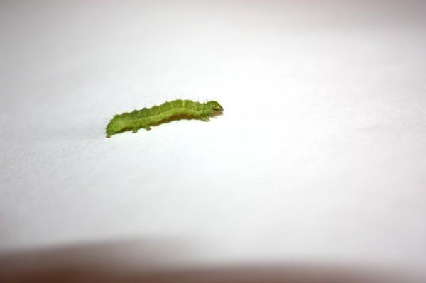 Gąsienica, larwa motyla.