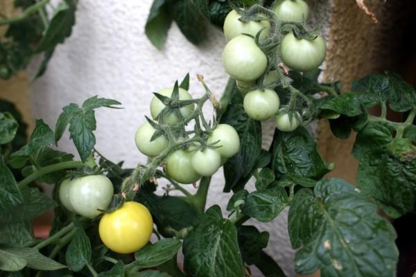 Żółte pomidorki koktajlowe