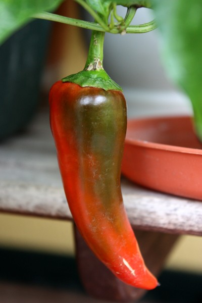Papryczka chili na balkonie