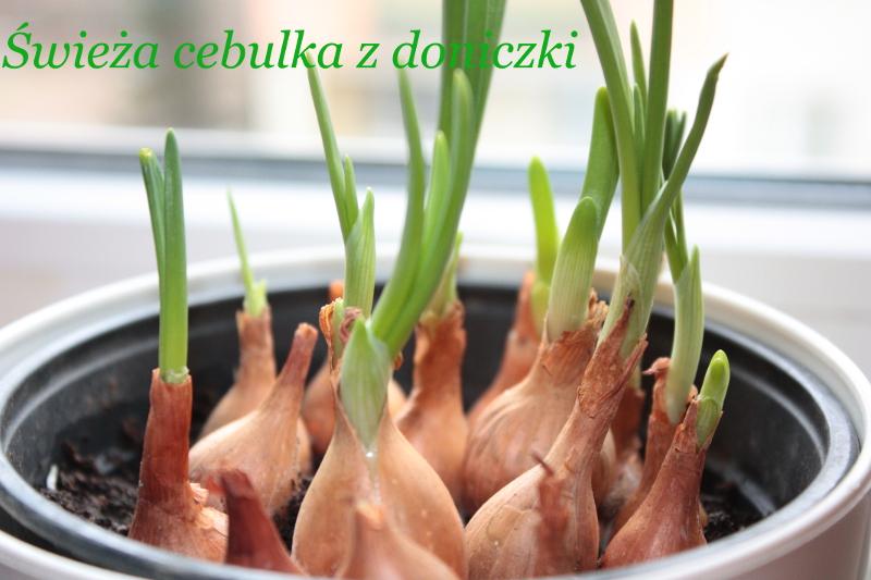 Uprawa cebuli na parapecie